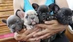 Francuski buldog štenci egzotičnih boja