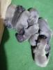 Francuski buldog štenci plave boje