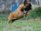 Francuski buldog, štenci šampionskog porekla