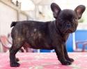 Francuski buldog štenci vrhunskog porekla