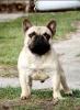 Francuski buldog, žensko štene