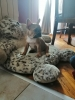 Francuski bulldog musko stene