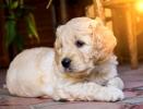 GOLDENDOODLE (designer dogs )
