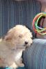 Havanski bišon štene
