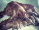Irski Seter štenci