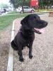 izgubljen crni Labrador Voždovac