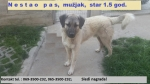 Izgubljen pas, mešanac šarplaninca