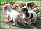 Jack russell terrier stenci