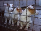 Jack Russell Terrier, Vrhunsko leglo