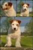 Jack russell terrier spreman za parenje