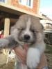 Japanska Akita, vrhunska štenad