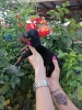 Jazavičar - exotic i standard štenci