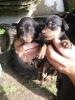 Jazavičar - preslatki štenci