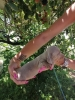 Jazavičar štenci EGZOTIČNE BOJE