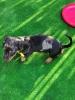 Jazavičar štenci
