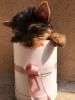 Jorkširski terijer štenci na prodaju