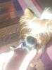 Jorkširski terijer, štenci