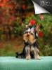 Jorkširski terijer štenci