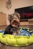 Jorkširski terijer štene na prodaju