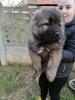 Kavkaski ovčar, muško štene