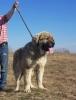 KAVKASKI OVCAR - odrasli psi