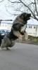 Kavkaski ovčar, štenci
