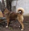 Kavkaski ovčar štene