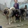 Kavkaski ovčar - tri ženke