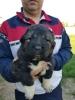 Kavkaski ovčar vrhunski štenci