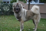 Kavkaski ovcar, zenka