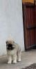 Kavkaski ovčar, žensko štene
