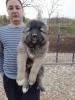 Kavkaski ovcari štenci