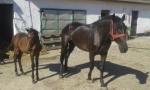 Kobila, zdrebe i prikolica