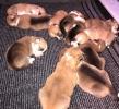 Korgi Pembroke štenci rezevacije