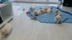 Kovrdzavi Bišon štenci