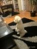 Kovrdžavi bišon, štenci