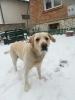 Labrador mužjak traži ženku za parenje