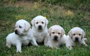 Labrador, prelepi, čistokrvni štenci