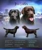 Labrador retriver, braon i crni štenci