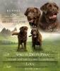 Labrador retriver braon štenci