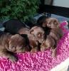 Labrador retriver čoko-štenci