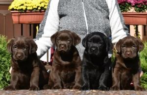 Labrador Retriver, čokoladni i crni štenci