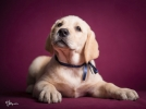 LABRADOR RETRIVER - dva muška šteneta