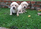 Labrador retriver, hit leglo