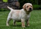Labrador retriver i bulmastif štenci na prodaju