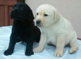 Labrador retriver - izuzetnih krvnih linija
