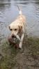 Labrador retriver muzjak star 18 meseci