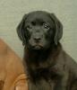 Labrador Retriver prelepi štenci