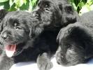 Labrador retriver stenci braon i crne boje