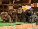 Labrador retriver štenci braon i crni